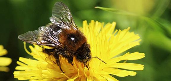 bijenpollen